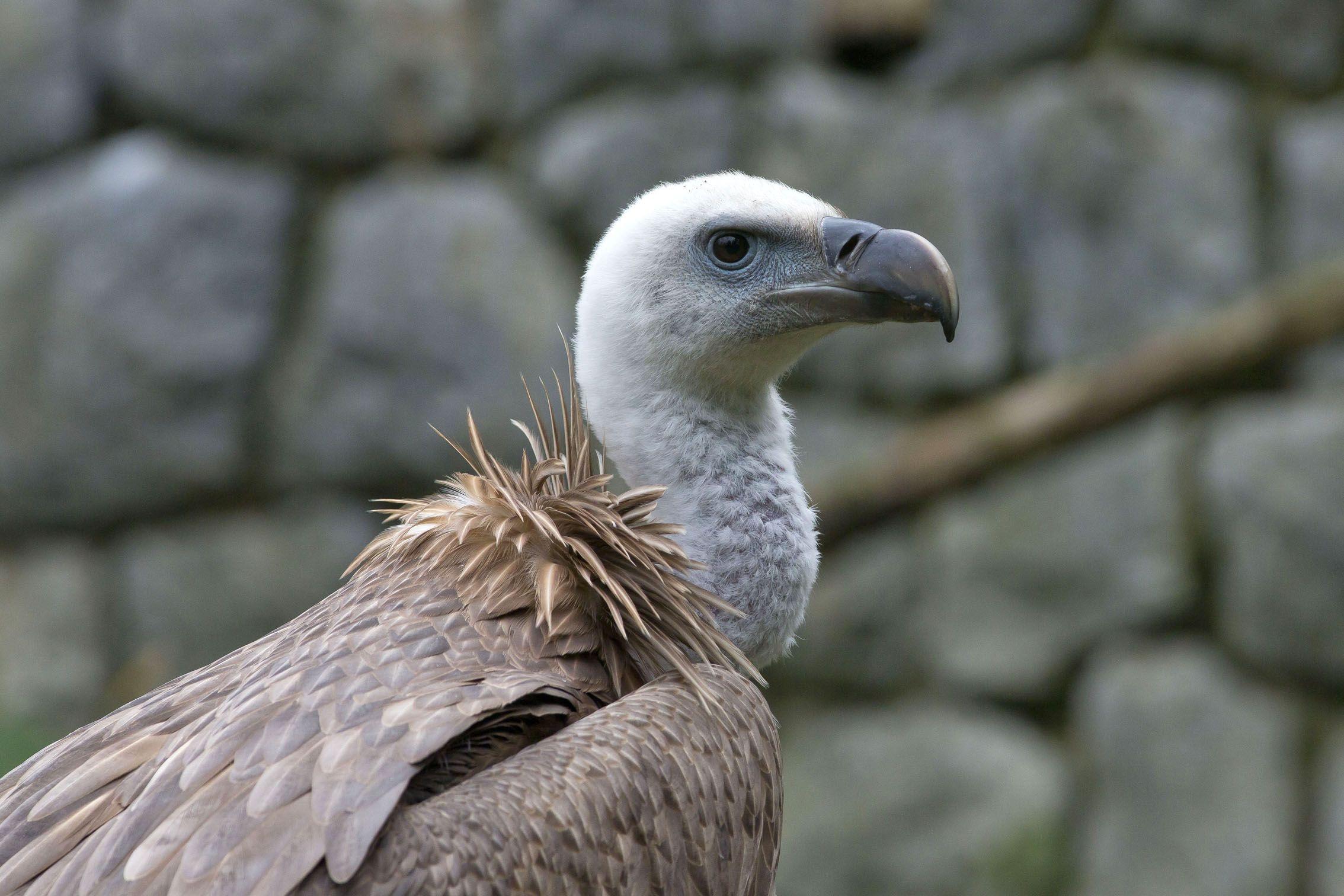 Bjeloglavi supovi – veličanstvene ptice čiji opstanak ovisi o čovjeku