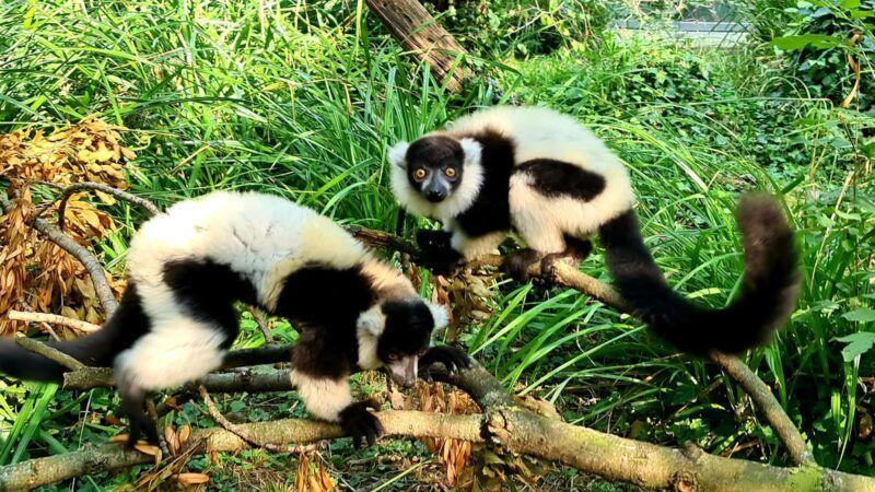 Uoči Svjetskog dana lemura: Gotovo svi su lemuri ugroženi, a trećina kritično
