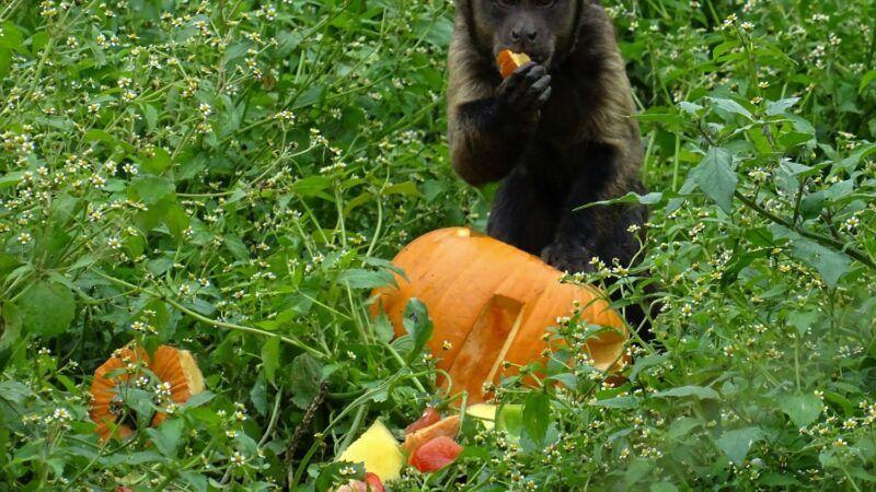 Zastrašujuće oznake na bundevama u Zoološkom vrtu: Životinjama podijeljene bundeve s oznakama njihove ugroženosti