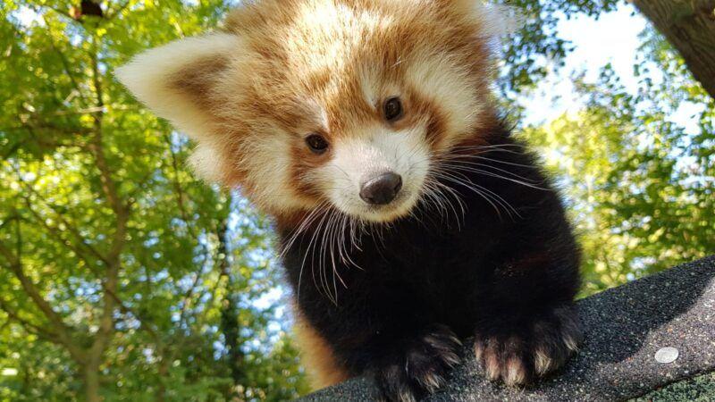 Međunarodni dan crvenih pandi obilježit će se u nedjelju u Zoološkom vrtu