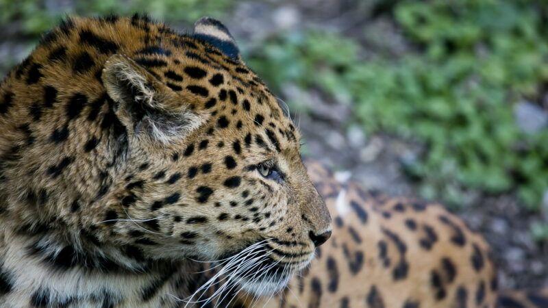 Kineska leopardica i ženka dvoprstog ljenivca procvjetale u Zagrebu